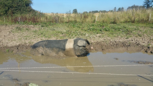 Polonius, our boar, enjoying the sunshine