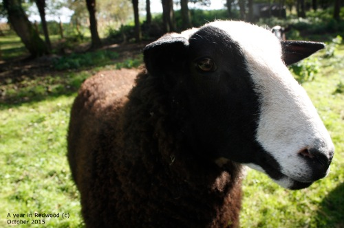 Handsome sheep