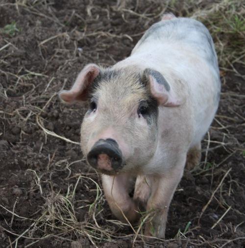 Oldfarm pig