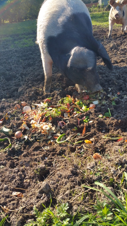 Pigs eating waste