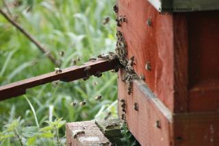 Oldfarm bees