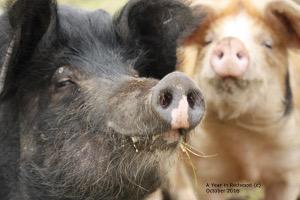 Scheming pigs